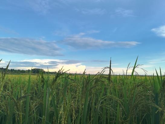 Observando entre el arroz la tormenta del fondo